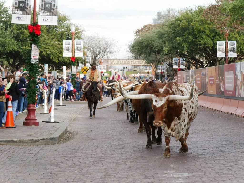 A cattle drive at Fort Worth with bulls walking down the road and a cowboy on a horse