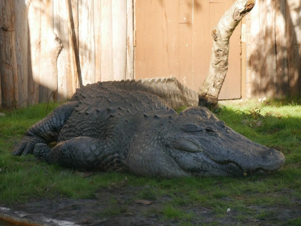 A really large alligator