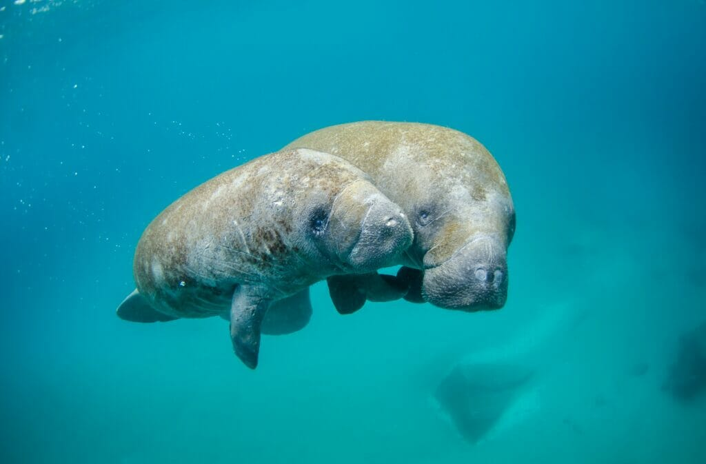manatees in water