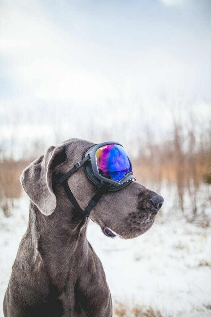 dog with ski goggles