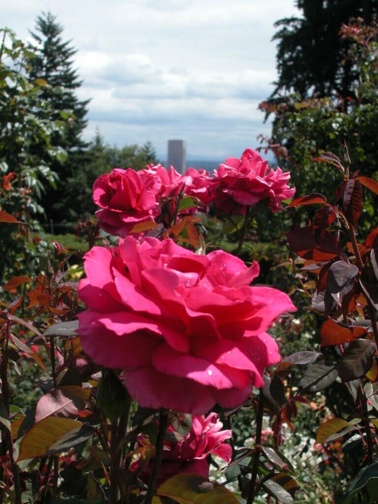Rose in Portland